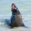 Wildlife, landforms & landscapes of the Galapagos Islands. <br /> Sea lion, defensive.<br /> Photos, prints & downloads