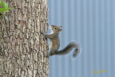 Squirrel in my back yard.