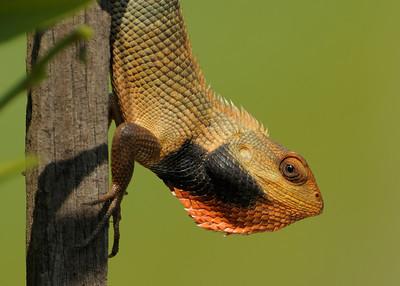Changeable lizard.