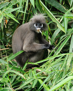 Whatcha lookin' at?  Dusky Langur looking like it's having a bad day at Bukit Tinggi Highlands.