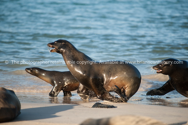 Wildlife, landforms & landscapes of the Galapagos Islands. <br /> Sea Lions.<br /> Photos, prints & downloads