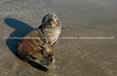 Seal cub on Castle Point Beach.