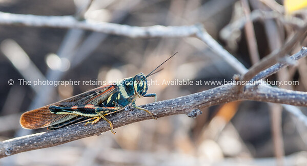 Wildlife, landforms & landscapes of the Galapagos Islands. <br /> Cicada, Painted Cicada.<br /> Photos, prints & downloads