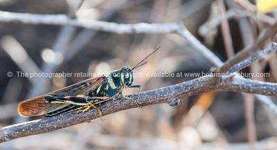Wildlife, landforms & landscapes of the Galapagos Islands.  Cicada, Painted Cicada. Photos, prints & downloads