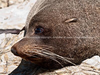 "Tora Walk. Tora Coastal Walk, New Zealand. Seals at Manurewa Point.118 images, as published in the book at http://www.blurb.com/books/2763192  See other Tora Coastal Walk images in ""New Zealand, Town and country, scenics"""
