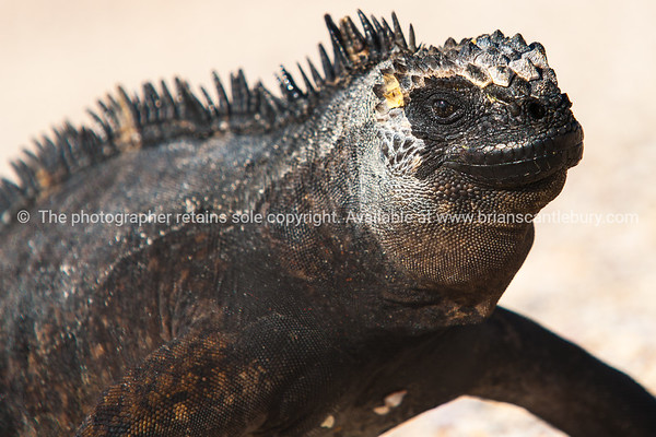 Wildlife, landforms & landscapes of the Galapagos Islands<br /> Marine iguana, close up.<br /> The Marine Iguana (Amblyrhynchus cristatus) is an iguana found only on the Galápagos Islands<br /> .Photos, prints & downloads