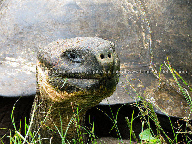 Wildlife, landforms & landscapes of the Galapagos Islands. <br /> Giant tortoise, close up.<br /> Photos, prints & downloads