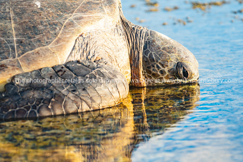 Green turtle left behind by falling tide