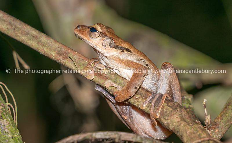 File-eared tree frog in Borneo rainforest