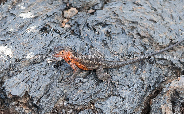 Wildlife, landforms & landscapes of the Galapagos <br /> Lava Lizard. There are seven different species of Tropidurus, lava lizards, found in the Galápagos.<br /> Islands.Photos, prints & downloads