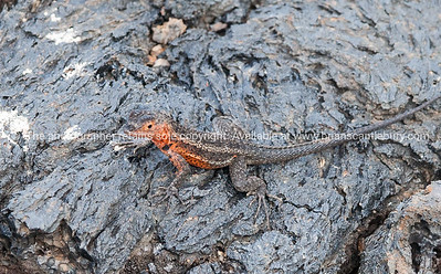 Wildlife, landforms & landscapes of the Galapagos  Lava Lizard. There are seven different species of Tropidurus, lava lizards, found in the Galápagos. Islands.Photos, prints & downloads