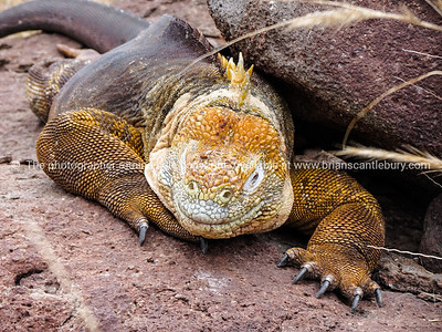 Wildlife, landforms & landscapes of the Galapagos Islands.   The Galapagos Land Iguana (Conolophus subcristatus) Photos, prints & downloads