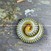 Giant yellow and black millipede curled up in self-defence.