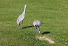 Sandhill Cranes that live in our subdivision in Wadsworth, IL.
