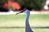 One of our neighborhood Sandhill Cranes