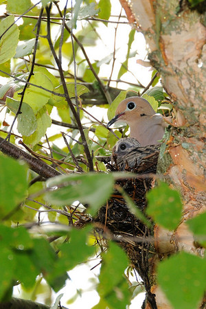 Nesting Mourning Dove