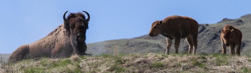 New Bison Calves, moms and bulls