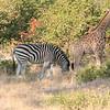 baby giraffe only a little taller than the zebras!