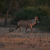 Roan antelope walking toward the sunset
