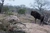 Wildebeest (Connochaetes taurinus)