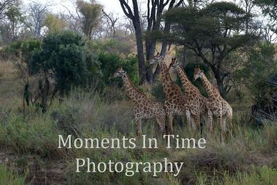 Giraffe South African  (Giraffa camelopardalis giraffa)
