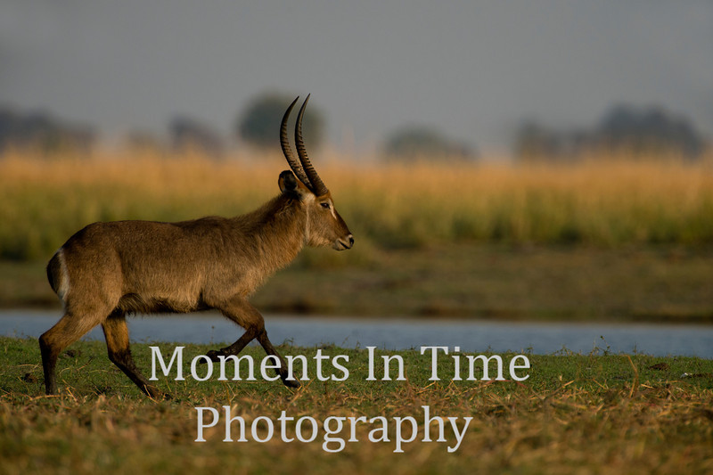 waterbuck (Kobus ellipsiprymnus)