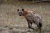 Hyena spotted (Crocuta crocuta)