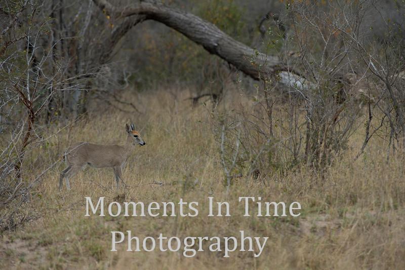 Steenbok (Raphicerus campestris)