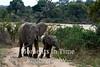 African bush elephant (Loxodonta africana)