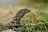 Monitor lizard (Varanus exanthematicus)