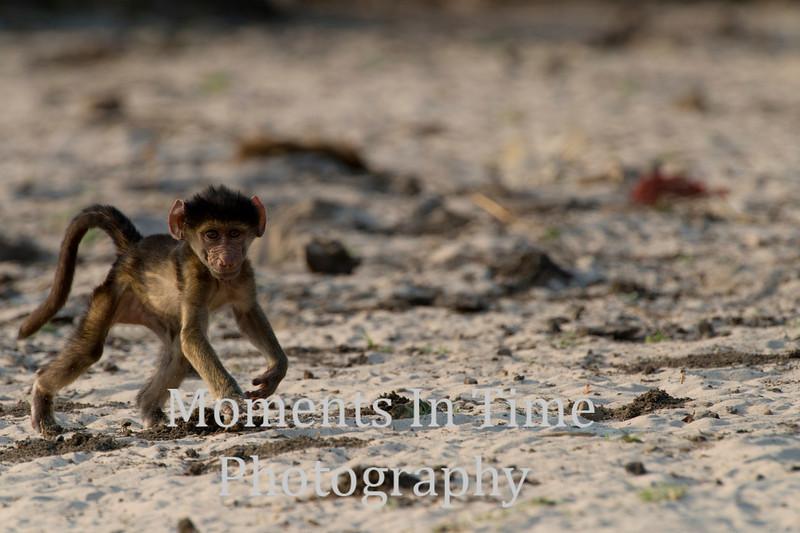 chacma baboon (Papio ursinus)