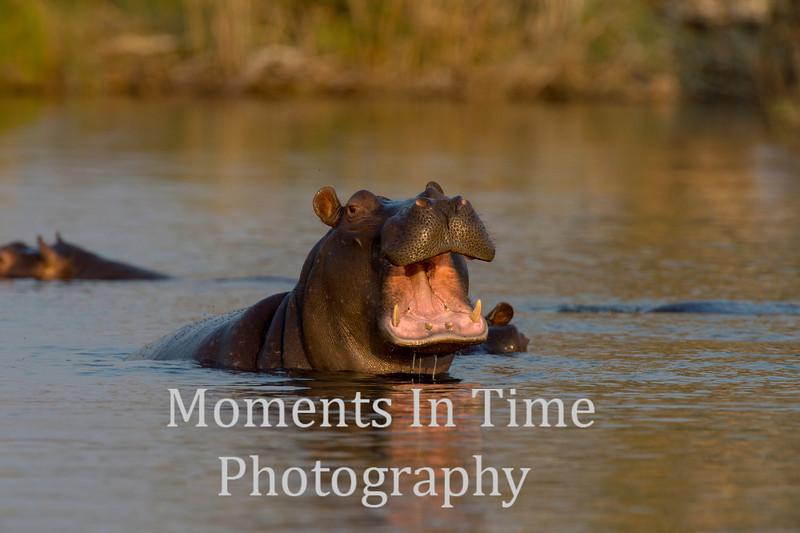 Hippopotamus (Hippopotamus amphibious)
