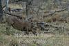 warthog or common warthog (Phacochoerus africanus)