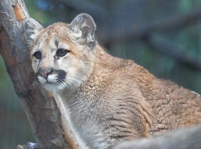 Juvenile Cougar