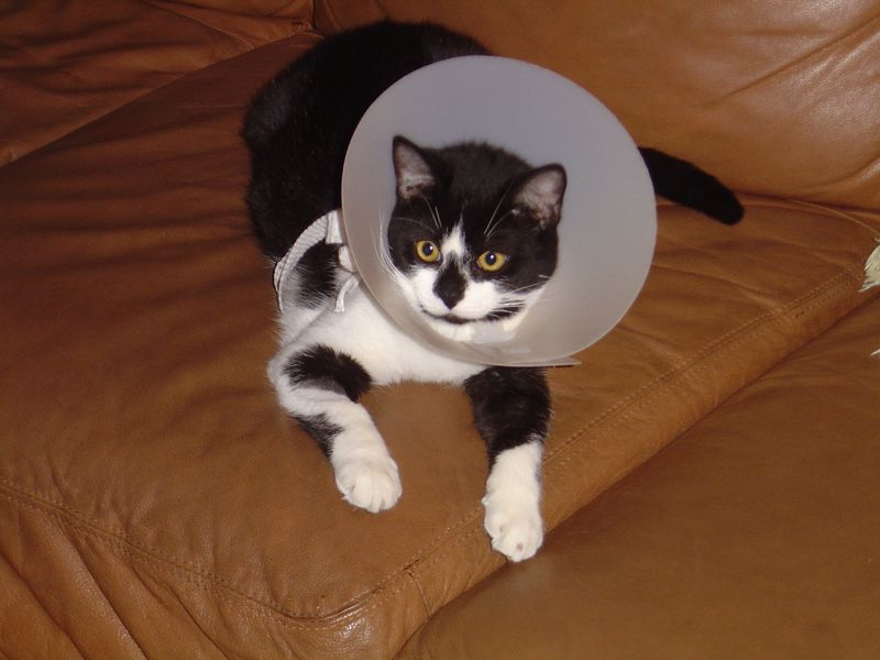 Wearing the cone (after spaying)