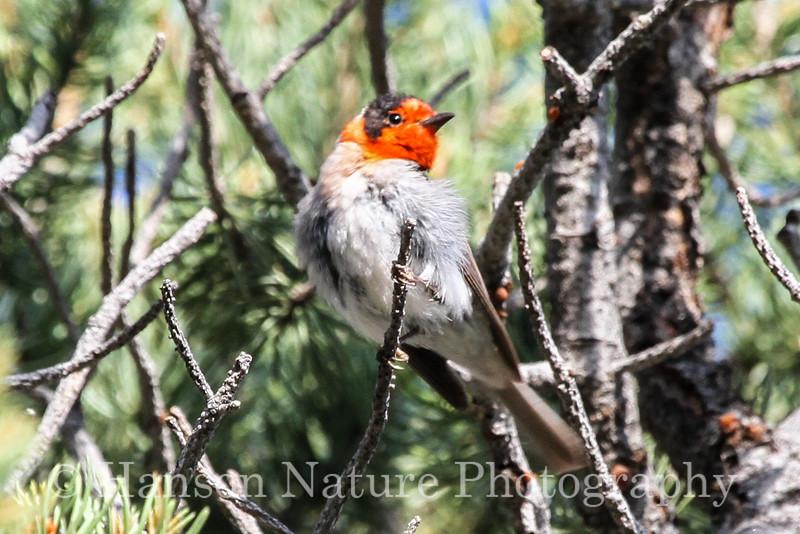 Red-faced Warbler