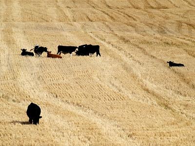 Barley Stubble, Halcombe