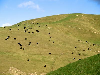 Angus Cattle, Hawke's Bay