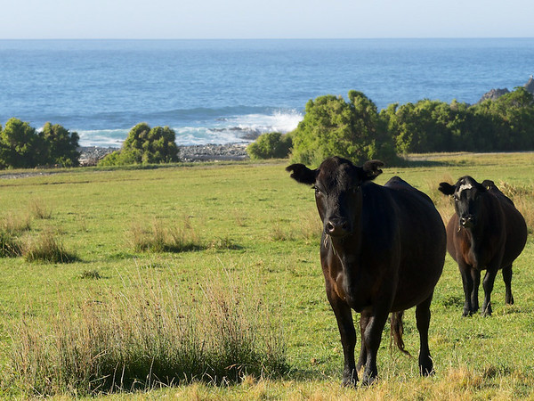 Cows at Palliser Bay