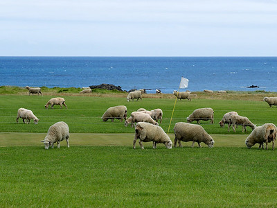 Sheep golf course at Ngawi, Palliser Bay
