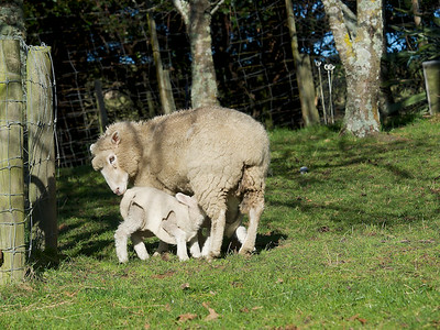 Ewe and Twin Lambs