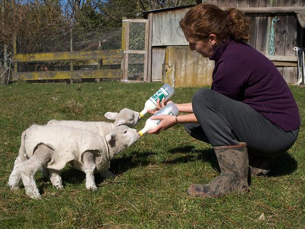 Orphan Lambs Feeding