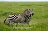 Zebra pals