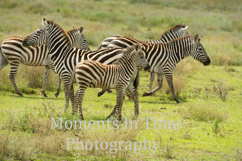 young zebra with mom others behind