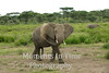 young elephant throwing dust
