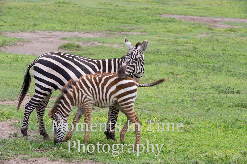 Zebra mom's head on foals back