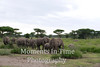 Elephant herd coming toward camera