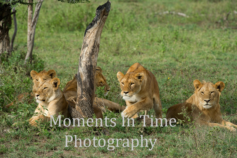 4 lions, 1 in action