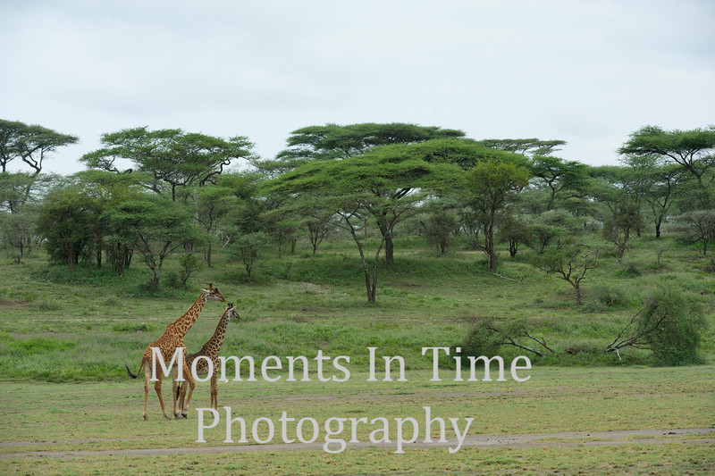 Two giraffes moving across acacia tree scene