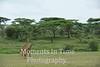 Two giraffes moving across acacia tree scene